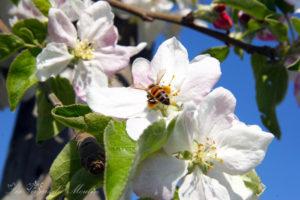 Accueil-abeille