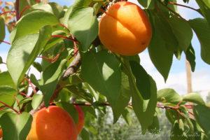 Accueil-abricots