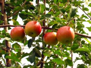 Accueil-pommes