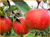 Pomme-Rubinette