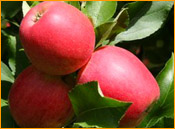 Pomme-royalgala