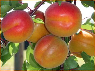 Produit-abricots