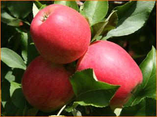 Produit-pommes